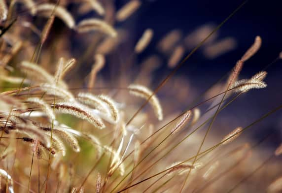 Autumn grass with golden highlights