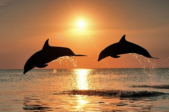 Two dolphins jumping out of water with sunset behind them